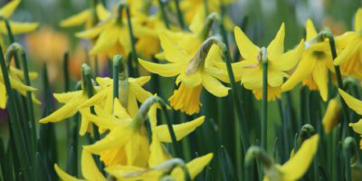 A group of daffodils growing outside