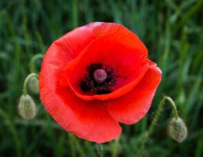A Poppy Flower