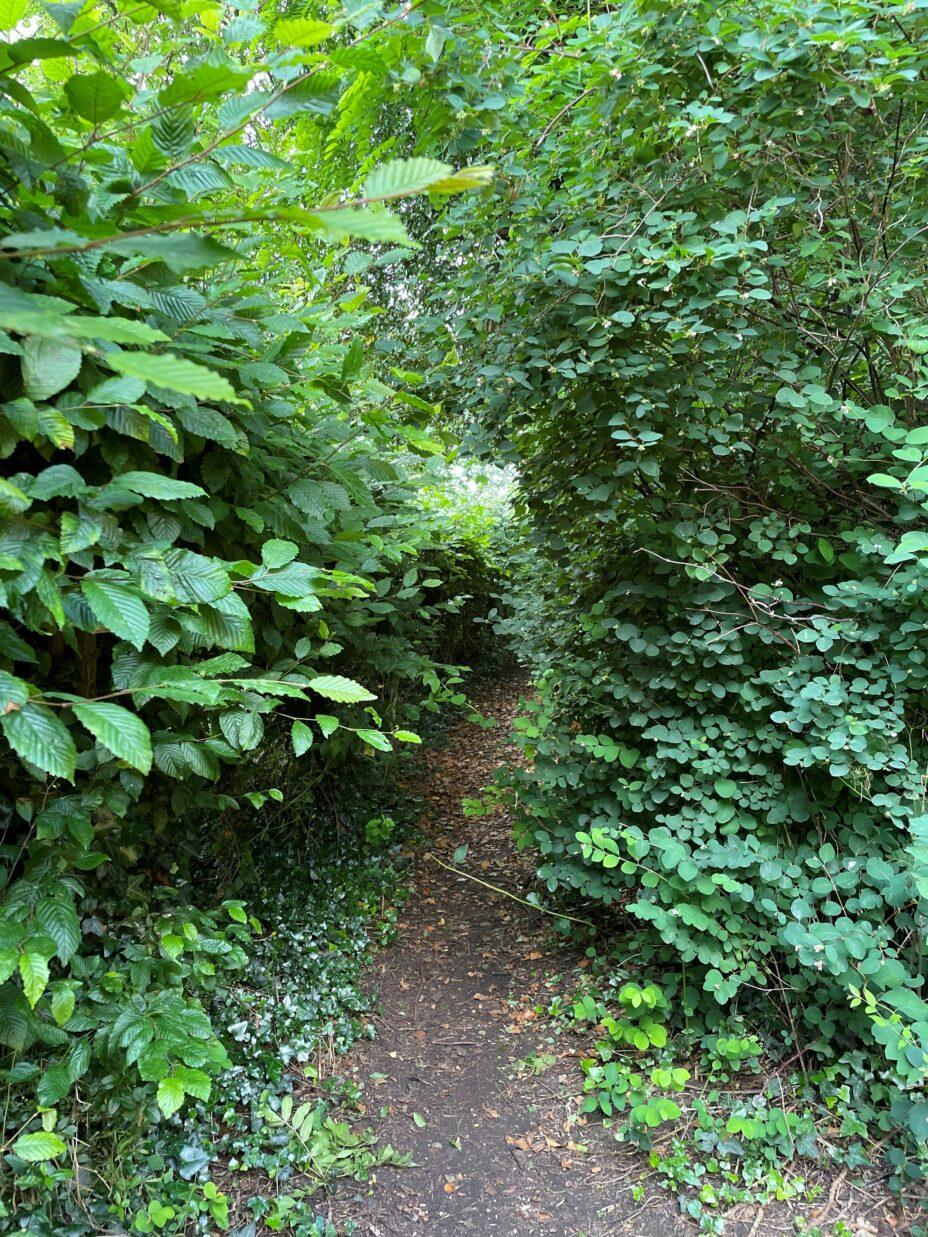 path between overgrown hedges